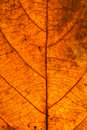 Dry leaves veins texture. Close up on leaf texture. Leaf veins m Royalty Free Stock Photo