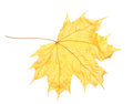 Dry maple autumn leaf Royalty Free Stock Images