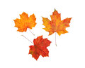Dry maple leaves set of colored isolated Royalty Free Stock Photography