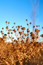 Dry plant against blue sky Royalty Free Stock Photo