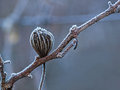 Dry plant with hoarfrost branch of grapes and dried flower covered frost frozen dew in the early morning horizontal color photo Stock Photos