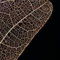 Dry Pressed Leaf On Black Back...