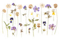 Dry pressed wild flowers isolated on white Royalty Free Stock Photo