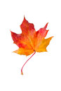 Dry red autumn maple leaf Stock Images