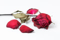 Dry red rose isolated dried on white background Stock Photo