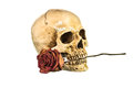Dry red rose in teeth of human skull on white background Royalty Free Stock Photo