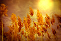 Dry reed cane and sunlight Stock Photo