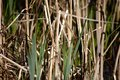 Dry reed grass Royalty Free Stock Photo