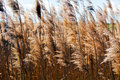 Dry reed Royalty Free Stock Photo