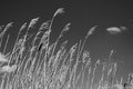 Dry reeds against the sky with clouds and sun, black and white photo Royalty Free Stock Photo