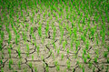 Dry rice field Royalty Free Stock Photo