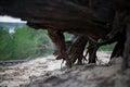 Dry Roots Of Dead Stump Tree I...