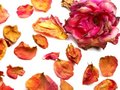 Dry rose design Royalty Free Stock Photography