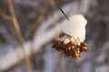The dry seeds covered with snow in beams of sun Royalty Free Stock Photography