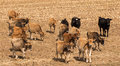Dry stock feeding yearling cattle of a maze paddock Stock Photos