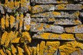 Dry stone wall close up of a covered in orange lichen Royalty Free Stock Photo