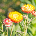 Dry straw flower or everlasting helichrysum bracteatum Royalty Free Stock Photography