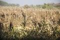 Dry sugarcane tree