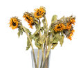 Dry sunflower in a vase Royalty Free Stock Photo