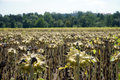 Dry sunflowers on the farm field in switzerland Royalty Free Stock Photos