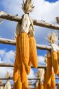 Dry sweet corn hanging over blurred blue sky background