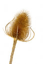 Dry teasel head on white background Stock Photo