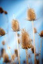 Dry thistle and clear blue sky dried herb burdock lit by the sun s rays Royalty Free Stock Images