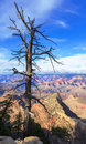 Dry Tree Above South Rim Of Gr...