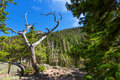 Dry tree against mountain with evergreen woods Royalty Free Stock Photo