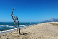 Dry tree beach sand and patara turkey Royalty Free Stock Images