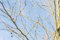 Dry Tree On Blue Sky Royalty Free Stock Photo