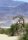 Dry tree in death valley desert Royalty Free Stock Images