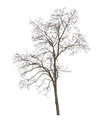 Dry tree isolated on white background Royalty Free Stock Images