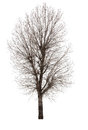 Dry tree isolated on white background Stock Photos