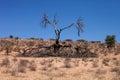 Dry tree in the Kalahari Desert Royalty Free Stock Photo