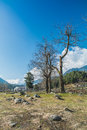 Dry tree in pahalgam garden kashmir march Stock Photography