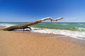 Dry Tree On Sandy Beach