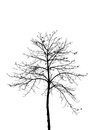Dry tree silhouette on white background Royalty Free Stock Photo