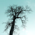Dry tree with sky background is a silhouette Royalty Free Stock Photo