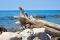 A dry tree trunk on the sea shore.