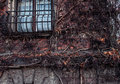 Dry vine waiting for spring warmth entwine the old stone wall with window Royalty Free Stock Photo