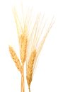 Dry wheat grains