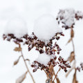 Dry winter flowers covered with snow balls Stock Photos