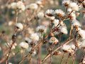 Dry winter weed Royalty Free Stock Photography