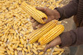 Dry yellow corn for food in the winter Stock Images