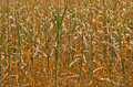 Dry yellow stalks of corn closeup at sunny summer day Royalty Free Stock Photo