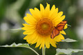 Dryas julia butterfly on sunflower iulia standing a Stock Photo