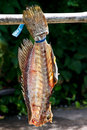 Drying fish carcass Stock Photos