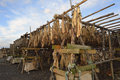 Drying fish on wooden construction Stock Image