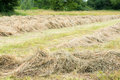 Drying grass in the meadows Stock Images